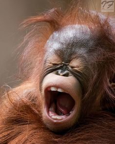 Funny Animal Pictures, Cute Funny Animals, Cute Baby Animals, Animals And Pets, Primates, Beautiful Creatures, Animals Beautiful, Magnificent Beasts, Baby Orangutan