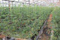 cà chua cherry được trồng trong nhà kính
