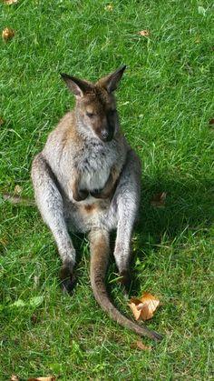 Best wallaby photo I've taken yet. http://ift.tt/2dP056K