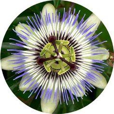 Passion Flower Seeds - 250 mg - Passiflora Fruit Plants, Tropical Plants, Planting Seeds, Planting Flowers, Garden Plants, House Plants, Passion Fruit Flower, Cheap Plants, Jungle Gardens