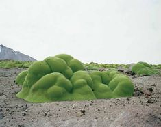 Llareta.  3,000 years | Acatama Desert, ChileThe Oldest Living Things in the World: A Decade-Long Photographic Masterpiece at the Intersection of Art, Science, and Philosophy | Brain Pickings