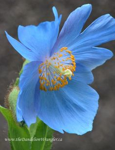 Meconopsis Grandis or Blue Asiatic Poppy can be difficult to site, It needs loose, well drained fertile soil in part shade. Once established it will bloom like gangbusters for you every June/July.