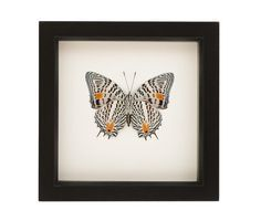 Butterfly Display Case Real Insect Taxidermy Art by BugUnderGlass