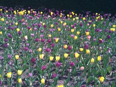 tulips are very spring