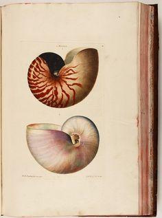 Georg Wolfgang Knorr, Nautilus from: Deliciae Naturae Selectae, 1766. Nuremberg. The complete book: University of Erlangen-Nuremberg