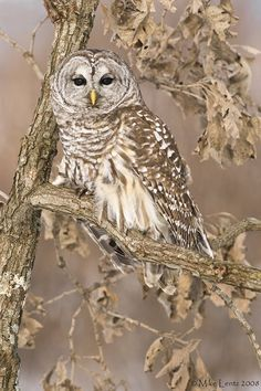 The Barred Owl  is a large typical owl native to North America. It goes by many other names, including Eight Hooter, Rain Owl, Wood Owl, and Striped Owl, but is probably best known as the Hoot Owl based on its call.
