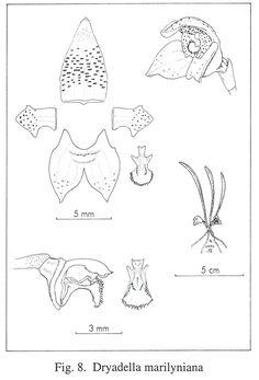 Dryadella marilyniana