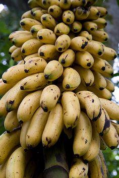 Guineo o banano ecuatoriano