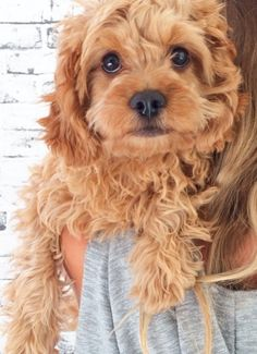 Actually the cutest Cavoodle i've ever seen pinned by myoodle.com Cavapoo, Doodle, Oodle