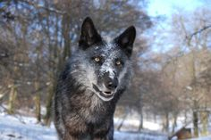 An older black beauty Wild Wolf, Beautiful Wolves, Night Time, Husky, Wildlife, Animals, Wolfdog, Black Beauty, Daddy