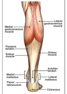 The anatomy of the Lower Leg. The Achilles Tendon attaches the heel bone to the gastrocenemius and soleus muscles. Calf Anatomy, Calf Muscle Anatomy, Leg Muscles Anatomy, Gross Anatomy, Human Body Anatomy, Human Anatomy And Physiology, Calf Muscles, Lower Leg Muscles, Calf Muscle Strain