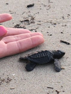size_of_baby_turtle.jpg 358×475 pixels