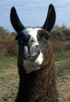 love me some llamas!