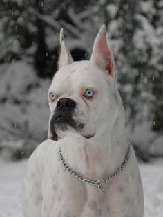 white boxer with blue eyes