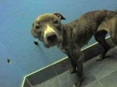SAFE --- SUPER URGENT 2/21/14  Brooklyn Center    CINAMMON - A0789363   *** RETURNED AS A STRAY ON 2/21/14 *** ORIGINAL INTAKE PHOTO ***   FEMALE, BR BRINDLE / WHITE, PIT BULL MIX, 6 yrs  STRAY - EVALUATE, NO HOLD Reason STRAY   Intake condition NONE Intake Date 02/21/2014, From NY 11428, DueOut Date 02/24/2014 https://www.facebook.com/Urgentdeathrowdogs/photos_stream
