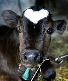 ♥ Cow with heart marking