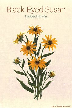 Black-Eyed Susan (Rudbeckia hirta): use for immune booster, common cold symptoms, worms in children, cuts and abrasions, and dropsy. May also be used as yellow dye.
