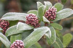 Frost on skimmia... | odile lm