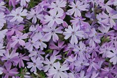 Phlox subulata - really like this but since only blooms for short time in spring, is there something we can plant with it to have color at other times? Cheap Landscaping Ideas, Front Yard Landscaping, Formal Gardens, Outdoor Gardens, Small Front Yards, Creeping Phlox, Alpine Plants, Ground Cover Plants, Landscape Pictures