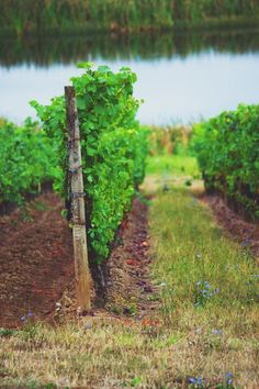 www.jodistilpphotography.com, landscapes, mighty creator, vineyard, summer