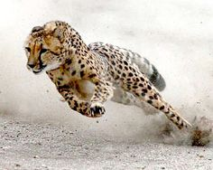 Cheetah running at full speed - what i see when i get home from work headed for the back door