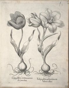 Tulips. Plate from 'Hortus Eystettensis' by Basilius Besler (1561-1629). Published 1640. archive.org
