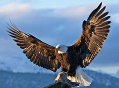 Types of Eagles - The Eagles are the most effective raptor found on planet earth and few of them are amongst the biggest extant types of eagles in the world. The Eagles, Types Of Eagles, Bald Eagles, Eagle Images, Eagle Pictures, Eagle Wings, Eagle Bird, Beautiful Birds, Animals Beautiful