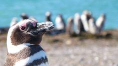 Pingüinera Estancia San Lorenzo, Península Valdés (Chubut) Peninsula Valdes, Penguins, Animals, Argentina, Pictures, Places, Animales, Animaux, Penguin