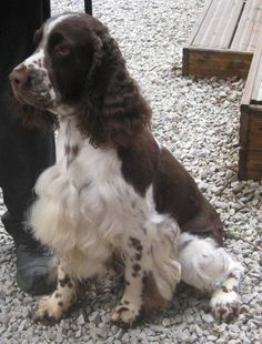 English Springer Spaniel. Someone needs to learn how to cut this guy's chest correctly.