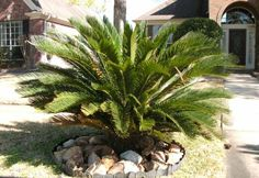 SAGO PALM TOXICITY - do you have this plant? This plant (all parts of it) are so toxic that the prognosis following ingestion is usually poor. PLEASE BE CAREFUL! Especially those in Florida where these are very popular for landscaping.