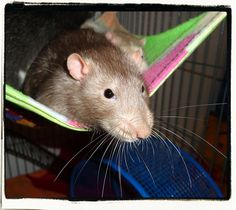 Teddy Bear! :) #rats