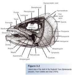 Skeleton of Fishes - study Material lecturing Notes assignment reference wiki description explanation brief detail