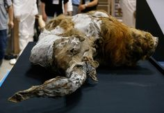 A female woolly mammoth, which was found frozen in Siberia in May, is seen here upon its arrival at an exhibition hall in Yokohama, south of Tokyo Extinct Birds, Extinct Animals, Unexplained Mysteries, The Wooly, Prehistoric Creatures, Black Paper, Zoology, Fossils, Lion Sculpture