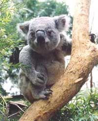 Sponsorship Opportunities | Australian Koala Foundation