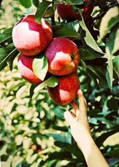 Fall Apple Picking in the Delaware Valley