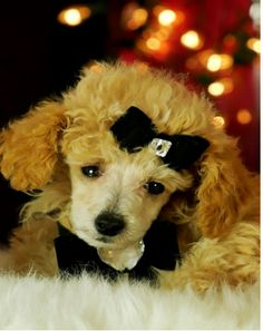 ♥♥♥Teacup Poodle Babies!! ♥♥♥ Bring This Perfect Baby Home Today! Call 954-353-7864 www.TeacupPuppies... ♥ ♥ ♥ TeacupPuppiesStore - Teacup Puppies Store Tea Cup
