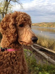 Dog Dye, Red Poodles, Poodle Grooming, Dog Grooming Business, Dog Facts, Standard Poodles, Dogs Of The World, Beautiful Dogs, Dog Breeds