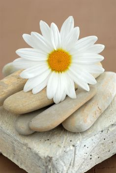 Daisy & Stones by Elena Ray Canvas Wall Art