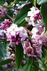 Top flowering shrubs for winter scent in your garden / RHS Gardening