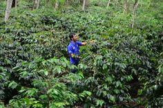 Coffee Arabica Farm Gayo  #coffee #arabica #nature #greenbean