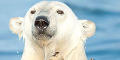 Free Arturo, Argentina's only polar bear, from living hell!!!     Sign petition at: http://www.thepetitionsite.com/815/615/329/free-arturo-argentinas-only-polar-bear-from-living-hell/?z00m=21304059