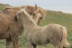 Cloud and Encore Baby Horses, Cute Horses, Wild Horses, Beautiful Horses, Clouds Band, Mustang Horses, Golden Horse, Gypsy Horse, Horse Wallpaper