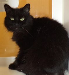 "Meet ""Midnight"" a Petfinder adoptable Domestic Medium Hair Cat 