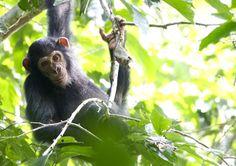 Chimp, unfazed