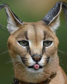 African caracal rolling its tongue. - Humor Photo - Humor images - African caracal rolling its tongue. The post African caracal rolling its tongue. appeared first on Gag Dad. Big Cats, Cats And Kittens, Cute Cats, Funny Cats, Funny Animals, Cute Animals, Cats Humor, Silly Cats, Animal Memes