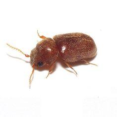 Cigarette Beetle | Bill Clark Pest Control of Southeast Texas