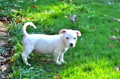Scout is an adoptable Labrador Retriever Dog in Queensbury, NY. Scout is a handsome  S litter puppy who is very athletic and playful. He gets along famously with his litter mates and his people frie...
