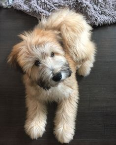 My Fozzie Bear. soft coated wheaten terrier - My Fozzie Bear… soft coated wheaten terrier - Wheaten Terrier Puppy, Pitbull Terrier, Terrier Puppies, Terrier Mix, Animals And Pets, Baby Animals, Cute Animals, Beautiful Dogs, Animals Beautiful