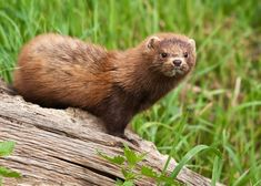 The mink (Mustela vison), belongs to the Mustelid family of weasel-like animals that possess well developed anal musk glands. Description from furmanagers.com. I searched for this on bing.com/images