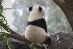 panda by singitbringitback Panda Bebe, Cute Panda, Red Panda, Animals And Pets, Baby Animals, Cute Animals, Panda Lindo, All Gods Creatures, Vintage Roses